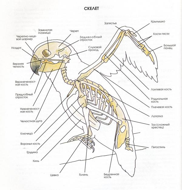 Giraffe neck anatomy