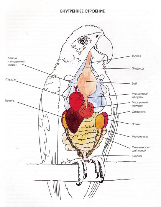 Внутреннее строение птицы.